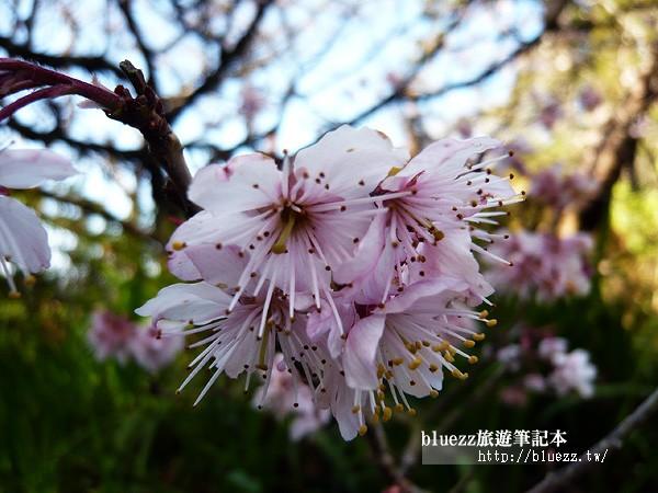 阿里山櫻花季.jpg