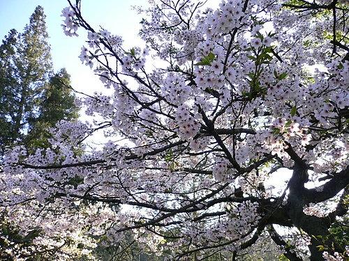 阿里山櫻花季阿里山櫻花季-滿滿的櫻花