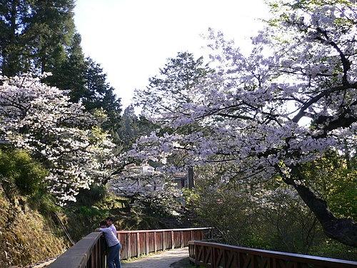 阿里山櫻花季沼平車站旁 大島櫻正盛開