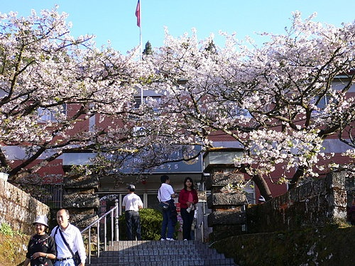 阿里山櫻花季派出所變成了觀光景點
