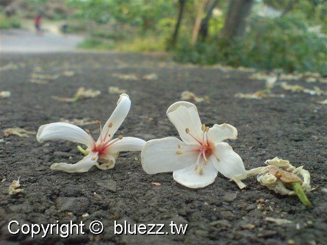 八卦山客家桐花祭(季)剛掉在地上的油桐花