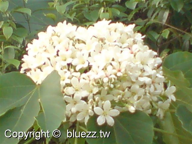 八卦山客家桐花祭(季)很大的油桐花