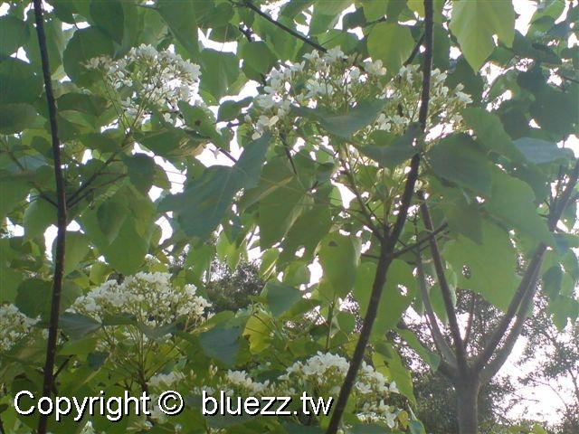 八卦山客家桐花祭(季)油桐花開滿樹