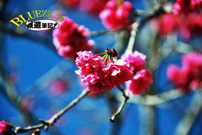 暨南大學櫻花-06.jpg
