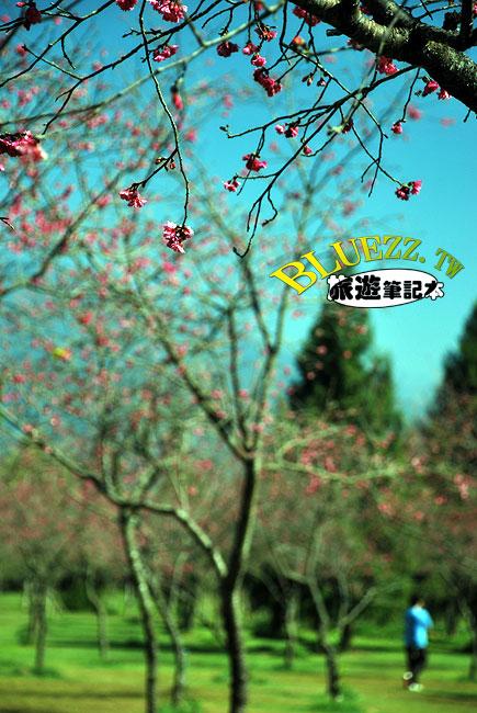 暨南大學櫻花-17.jpg