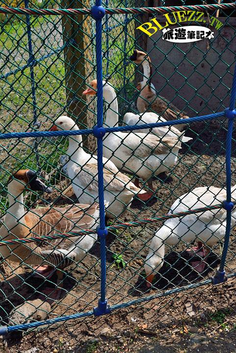 費茲洛公園 鵝