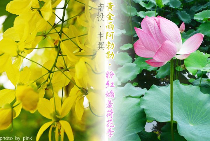 【南投中興新村】黃金雨阿勃勒&荷花季,夏日限定版!-1.jpg