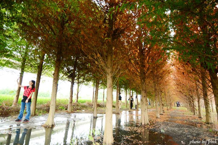 【霧峰景點】秘境~不用飛國外,也能看到美翻天的「落羽松林」,火紅上鏡!-DSC_8508.jpg