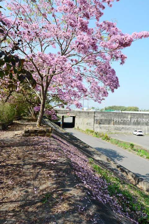 【南投景點】貓羅溪畔絕美「風鈴樹」粉紅盛開中-DSC_4083.jpg