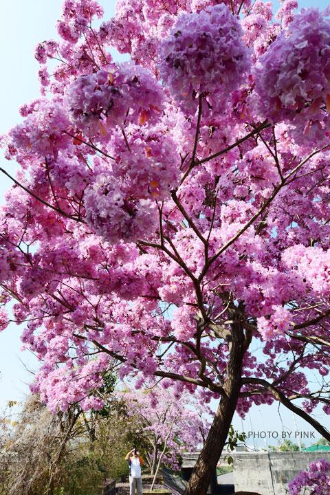 【南投景點】貓羅溪畔絕美「風鈴樹」粉紅盛開中-DSC_4070.jpg