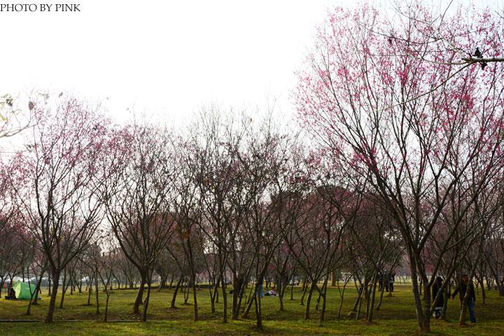 2015暨南大學櫻花季(花賞茶事)。火紅的山櫻花現正盛開中。-DSC_4481.jpg