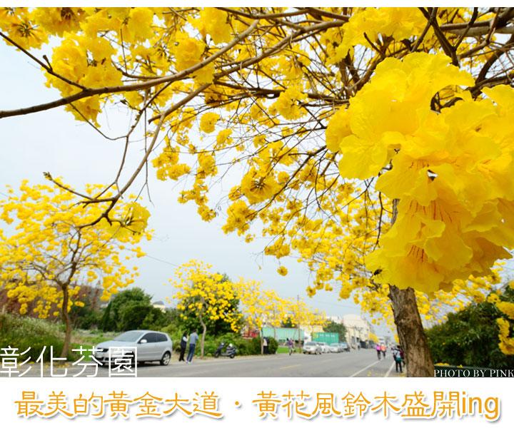 彰化芬園最美的黃金大道.黃花風鈴木盛開ing-1.jpg