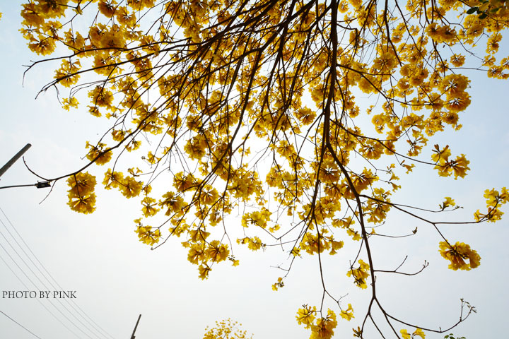 彰化芬園最美的黃金大道.黃花風鈴木盛開ing-DSC_6997.jpg