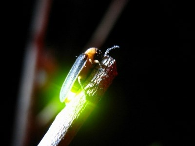 小精靈螢火蟲教育館-夜攝螢火蟲.jpg