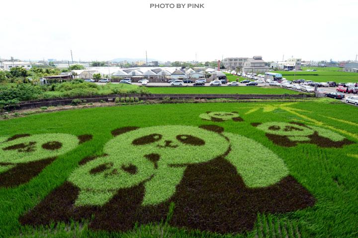 【苑裡景點】熊貓稻田彩繪可愛登場!-DSC_5762.jpg
