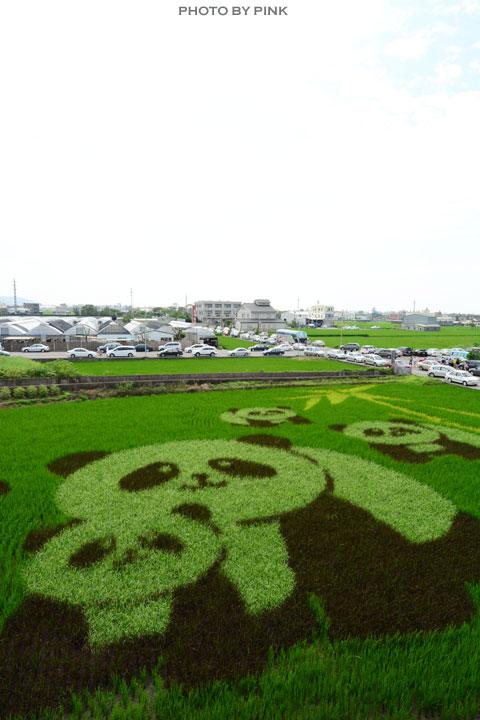 【苑裡景點】熊貓稻田彩繪可愛登場!-DSC_5789.jpg