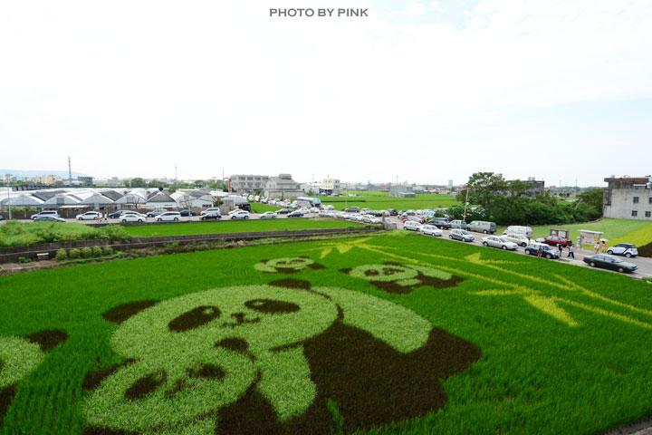 【苑裡景點】熊貓稻田彩繪可愛登場!-DSC_5791.jpg