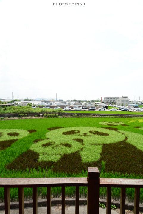 【苑裡景點】熊貓稻田彩繪可愛登場!-DSC_5818.jpg