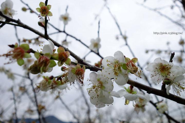 【南投賞梅】柳家梅園。賞梅雪、嚐梅餐,現在正是時候!-DSC06955.jpg