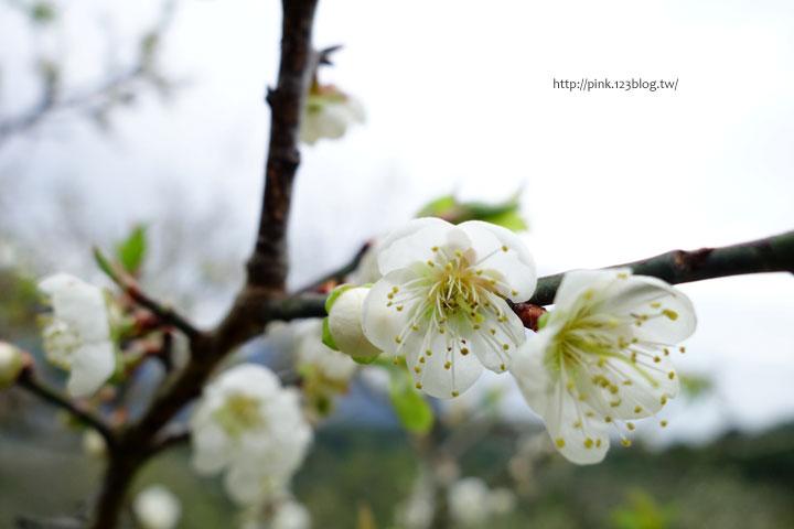 【南投賞梅】柳家梅園。賞梅雪、嚐梅餐,現在正是時候!-DSC06993.jpg