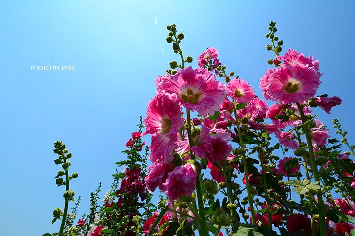 【彰化員林景點】2017蜀葵花季in南區公園,美麗盛開中。-DSC_9190.jpg