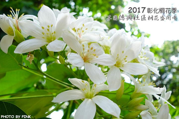 【2017桐花季】彰化芬園德興社區桐花盛開,開始飄下五月雪。-1.jpg