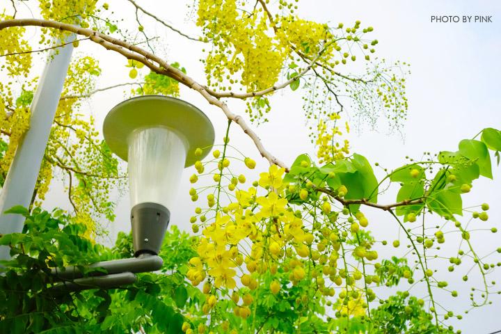 【南投阿勃勒】南投市福崗路上下起了黃金雨,季節限定阿勃勒美麗盛開中。-DSC03075.jpg