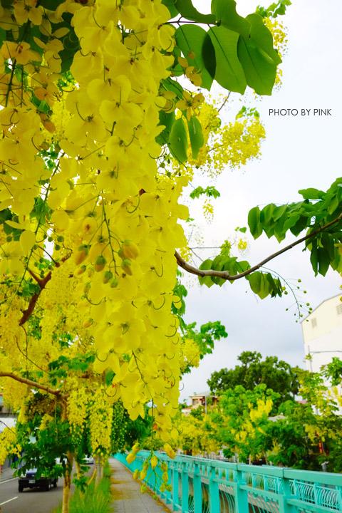 【南投阿勃勒】南投市福崗路上下起了黃金雨,季節限定阿勃勒美麗盛開中。-DSC03112.jpg