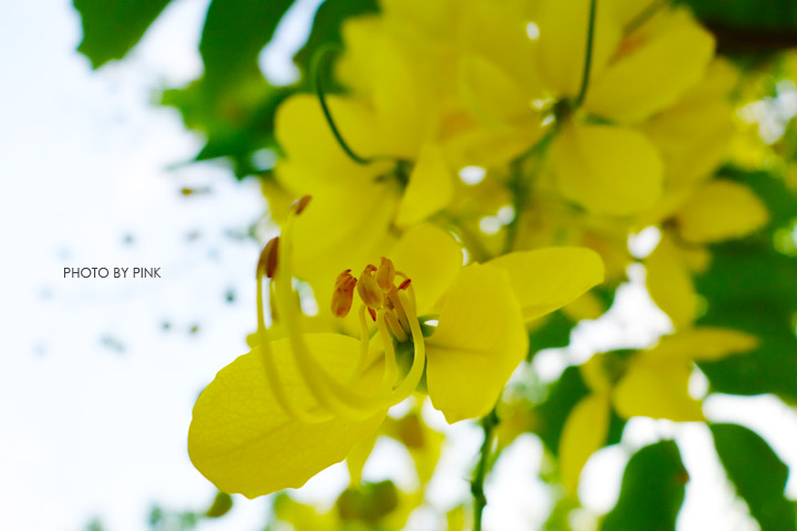 【南投阿勃勒】南投市福崗路上下起了黃金雨,季節限定阿勃勒美麗盛開中。-DSC03133.jpg