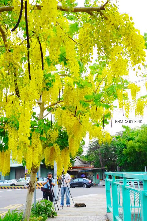 【南投阿勃勒】南投市福崗路上下起了黃金雨,季節限定阿勃勒美麗盛開中。-DSC03174.jpg