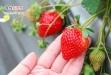 【南投國姓採草莓】錦輝草莓農場