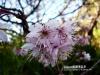 阿里山櫻花季-阿里山櫻花季.jpg