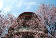 淡水天元宮櫻花季