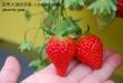 【苗栗大湖採草莓】六合草莓休閒農場