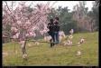 石馬公園櫻花-00-66419_459745140740575_1135250598_n.jpg