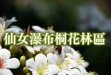 仙女瀑布桐花林區-仙女瀑布桐花林區.jpg