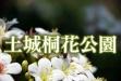 土城桐花公園賞桐步道