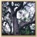 永興大樟樹-永興大樟樹