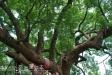 集集大樟樹、大眾爺廟-0DSC_0146.JPG