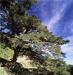 大鐵杉-大鐵杉