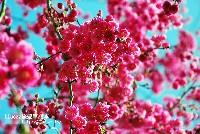 東勢林場櫻花、梅花