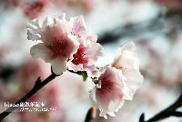 新北櫻花季