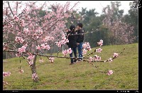 石馬公園櫻花