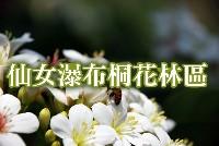 仙女瀑布桐花林區