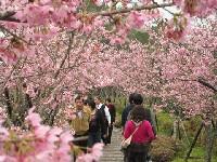 鳳凰茶園櫻花