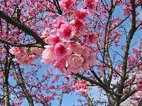 台北平菁街櫻花