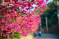 員林湖水巷櫻花(櫻花樹已移除)