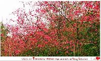 宜蘭大同鄉櫻花