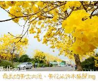 彰化芬園黃花風鈴木