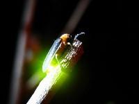 小精靈螢火蟲教育館